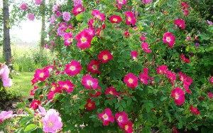 Les rosiers sauvages
